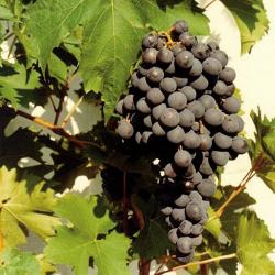 Vigne Muscat de Hambourg, pot d'1,6L Lot de-1
