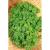 Persil frisé vert foncé bio 1g