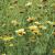 Chrysanthème Comestible bio 2g