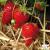 20 plants Fraisier Cijosée