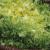 Chicorée frisée Wallonne bio 1g