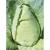 Chou cabus Filderkraut bio 0,9g