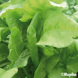 Poirée Perpetual Spinach 5g