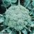 Chou brocoli Ramoso Calabrese bio 0,5g