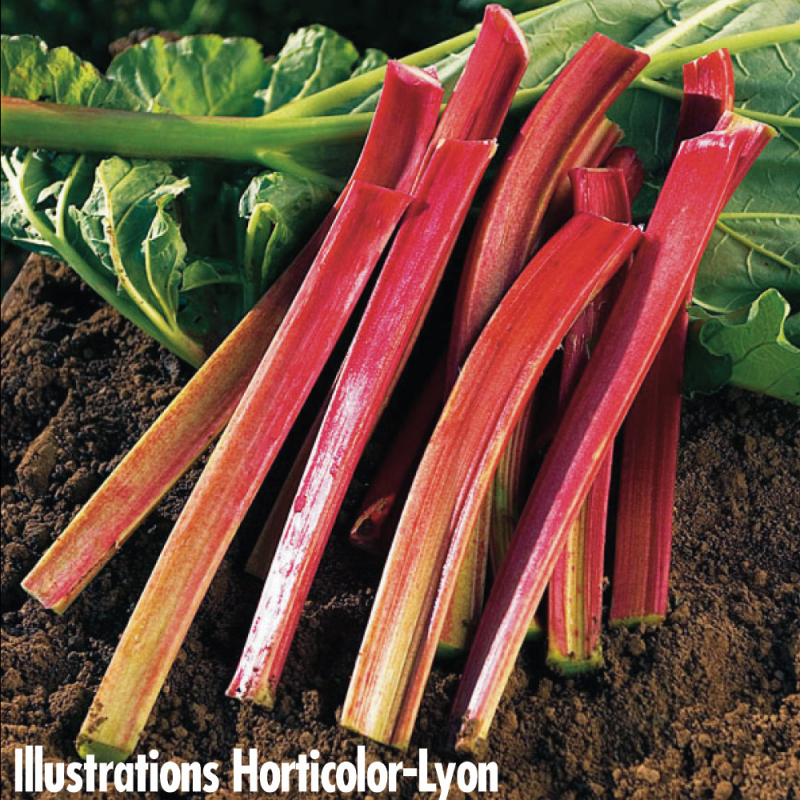 Rhubarbe Victoria bio (50 graines)