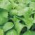 Stévia bio (15 graines)