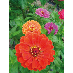 Zinnia à Grandes Fleurs bio 0,5g