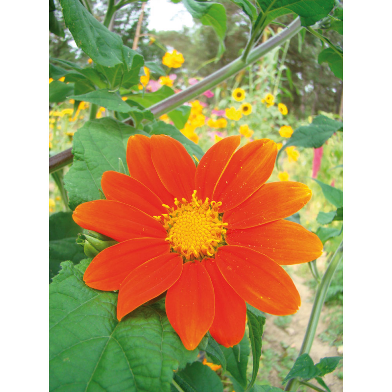 Soleil du Mexique - Tithonia bio 0,5g
