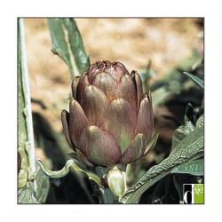 Artichaut Violet de Provence 1g