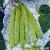 Haricot à rames Raadsheer 40g