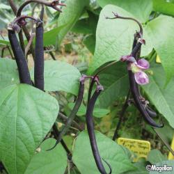 Haricot nain Purple Teepee 50g