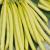Haricot nain Sonesta 150 graines
