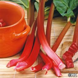 Rhubarbe type Victoria 2.5g
