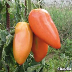 Tomate Cornabel F1 8 graines