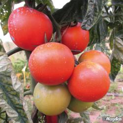 Tomate Prémio F1 8 graines