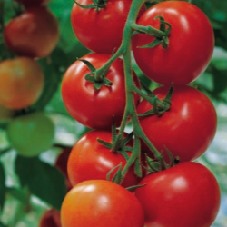 Tomate Shirley F1 20 graines