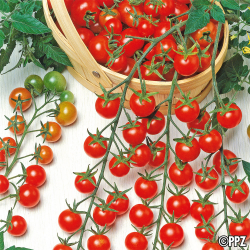 Tomate Supersweet 100 F1 0,04g