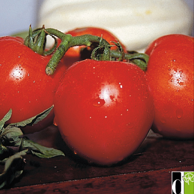Tomate Tyfrane F1 10 graines