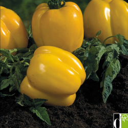 Tomate Yellow stuffer 0,09 Gr