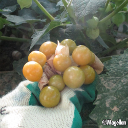 Physalis Cape Gooseberry 0.15g