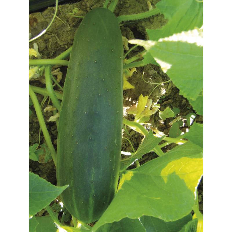 Concombre Vert Long Maraîcher bio 0,54g