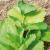 Coriandre Cultivée bio 2,5g