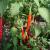 Piment Westlandse Lange Rode Bio 0.20 gr
