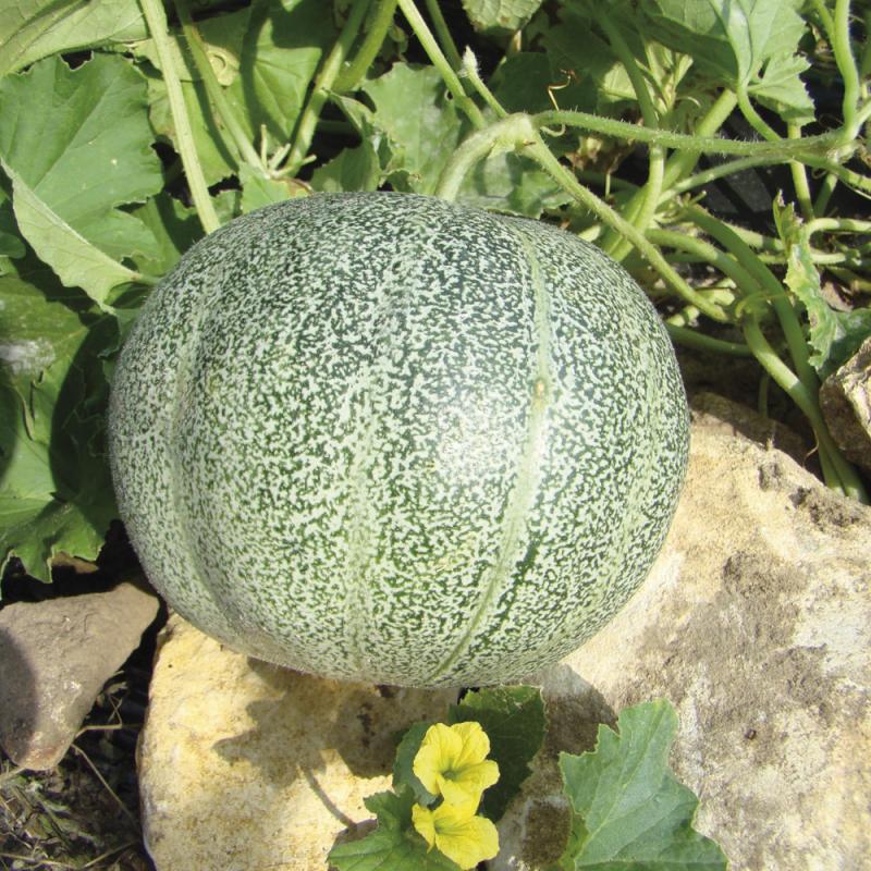 Melon Petit Gris de Rennes bio 0,9g
