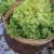 Chicoree scarole Géante Maraîchère bio 1g