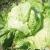 Laitue batavia doree de printemps bio 2g