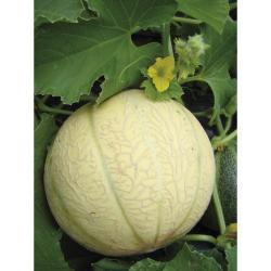 Melon charentais bio 1,35g