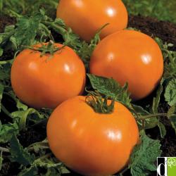 Tomate Orange Queen bio 0,14g
