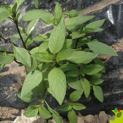 Basilic Réglisse bio 0,5g