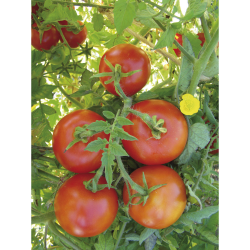 Tomate St-Pierre bio 0,25g