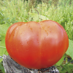Tomate Marmande VR bio 0,25g