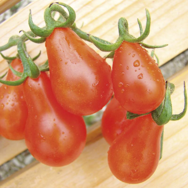 Tomate Poire Rouge bio 0,25g