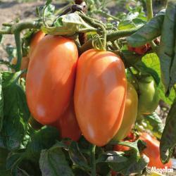 Tomate De Berao bio 0,1g