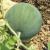 Pastèque Sugar Baby bio 0,55g