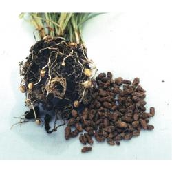 Souchet comestible - Amande de terre bio 2g