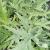Cardon plein blanc inerme bio 2g