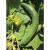 Concombre Rollison's Telegraph bio 0,5g