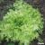 Laitue à couper Feuille de chêne blonde à graine noire bio 2g