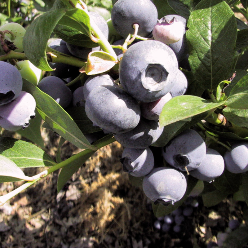 Myrtillier à gros fruits Darrow - pot d'1,6L