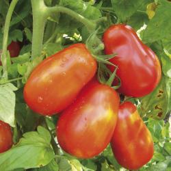 Tomate S Marzano 2 bio 0,25g