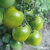 Tomate Green Grape bio 0,1g