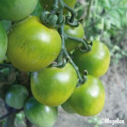 Tomate Green Grape bio 0,1g