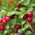 Canneberge Cranberry, pot d'1,6L