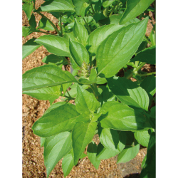 Basilic Citronnelle bio 1g