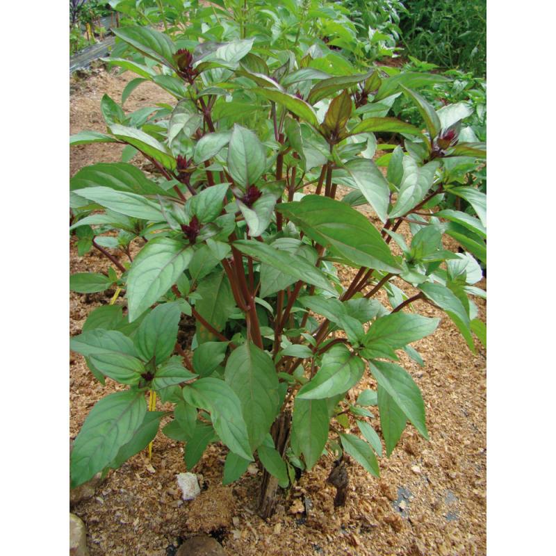 Basilic Cannelle bio 1g