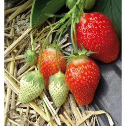 20 plants Fraisier Ciflorette bio
